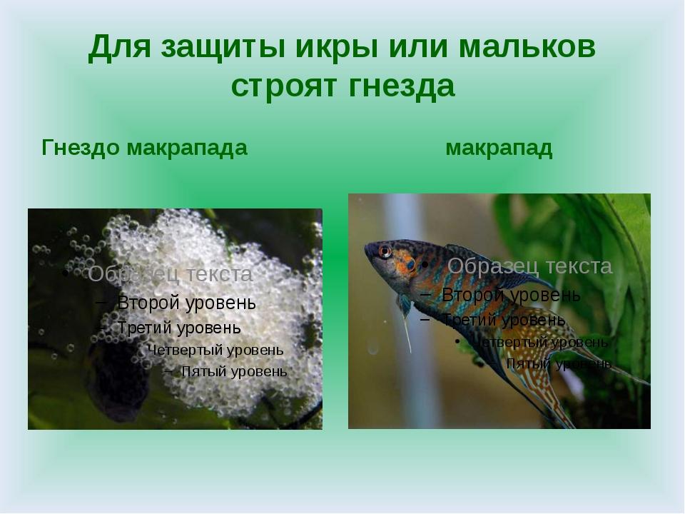 Для защиты икры или мальков строят гнезда Гнездо макрапада макрапад