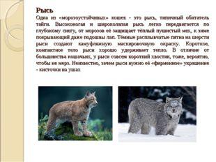 Рысь Одна из «морозоустойчивых» кошек - это рысь, типичный обитатель тайги. В