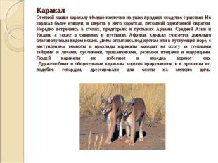 Каракал Степной кошке каракалу тёмные кисточки на ушах придают сходство с рыс
