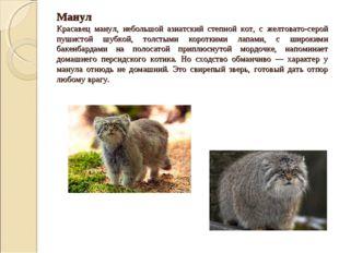 Манул Красавец манул, небольшой азиатский степной кот, с желтовато-серой пуш