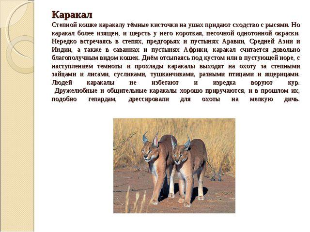 Каракал Степной кошке каракалу тёмные кисточки на ушах придают сходство с рыс...