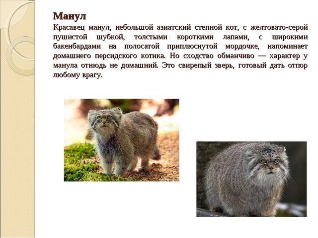 Манул Красавец манул, небольшой азиатский степной кот, с желтовато-серой пуш...
