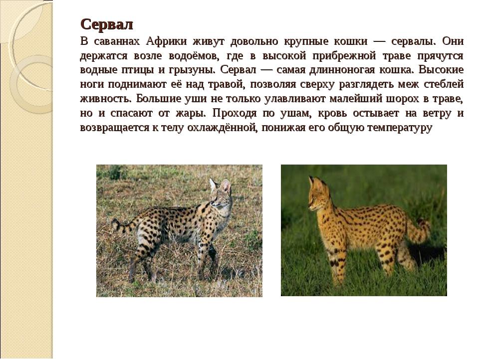 Сервал В саваннах Африки живут довольно крупные кошки — сервалы. Они держатс...