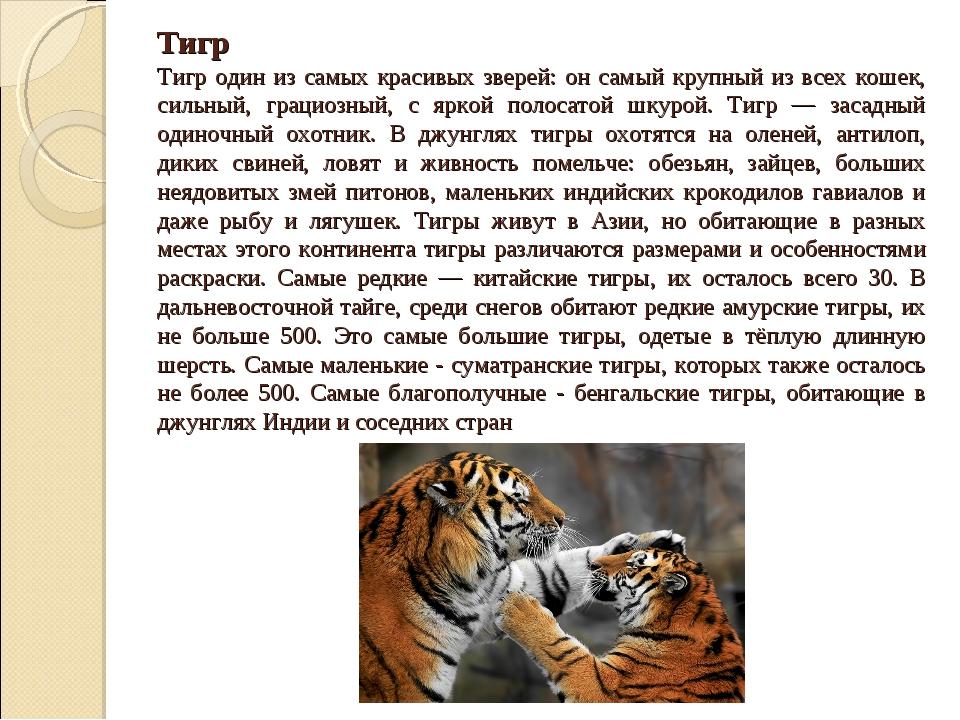 Тигр Тигр один из самых красивых зверей: он самый крупный из всех кошек, силь...