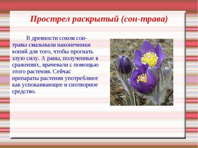 Прострел раскрытый (сон-трава) В древности соком сон-травы смазывали наконеч...
