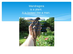 Mandragora is a plant. It is looked like a man.