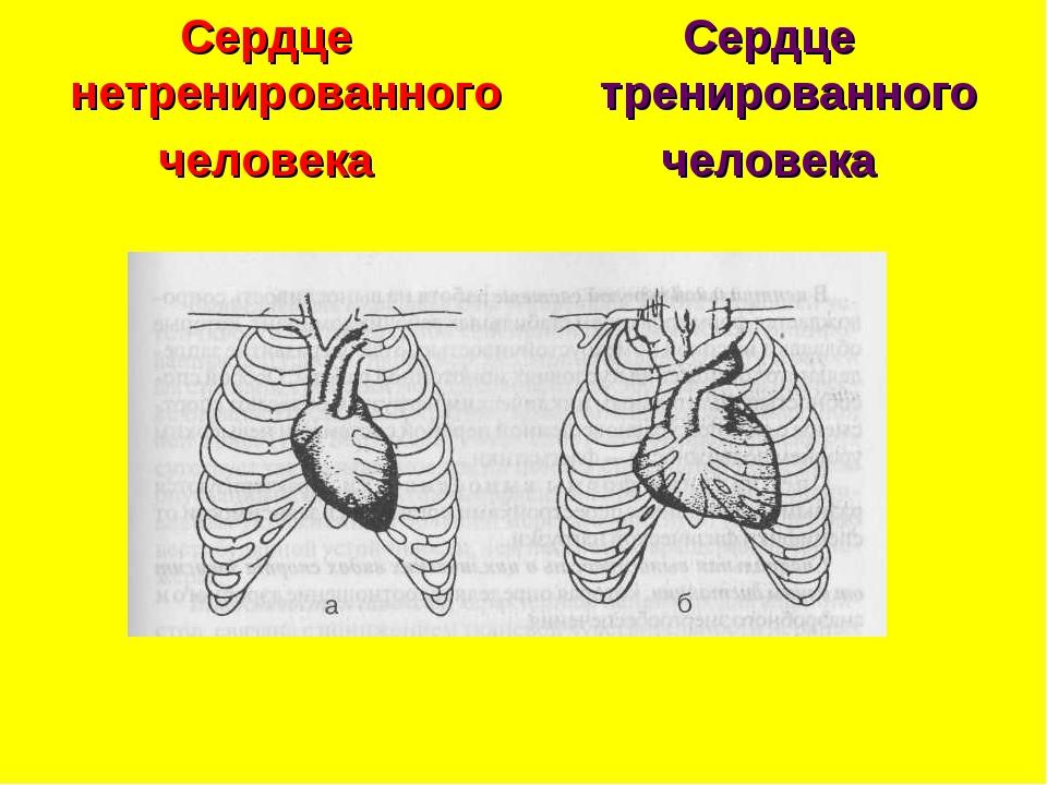 Сердце нетренированного человека Сердце тренированного человека