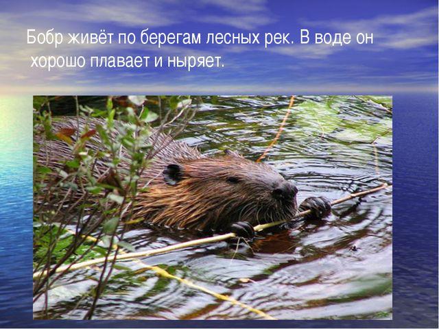Бобр живёт по берегам лесных рек. В воде он хорошо плавает и ныряет.