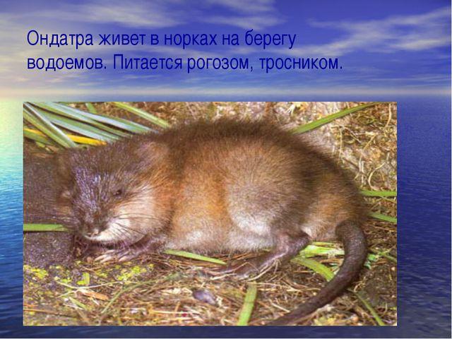 Ондатра живет в норках на берегу водоемов. Питается рогозом, тросником.