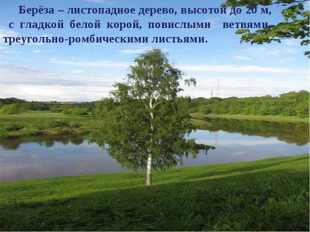 Берёза – листопадное дерево, высотой до 20 м, с гладкой белой корой, повислым...