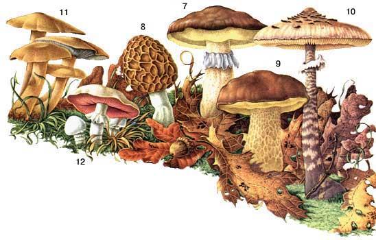 Определитель грибов, как отличить съедобные грибы, как отличить ядовитые грибы, календарь грибника, грибной календарь, календарь грибника на 2013 год, календарь грибника на лето, календарь грибника на осень, когда собирать грибы