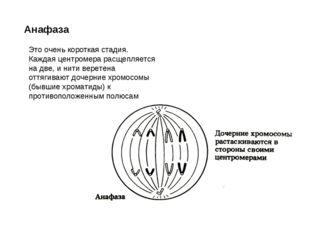 Анафаза Это очень короткая стадия. Каждая центромера расщепляется на две, и н