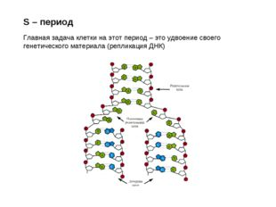 S – период Главная задача клетки на этот период – это удвоение своего генетич