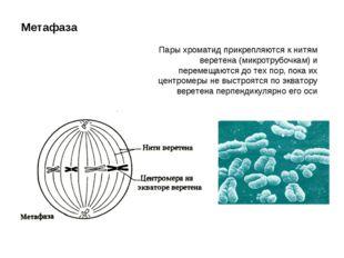 Метафаза Пары хроматид прикрепляются к нитям веретена (микротрубочкам) и пере