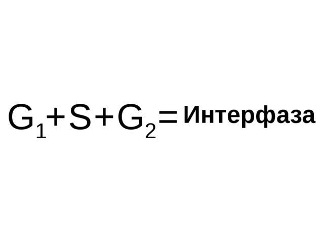 G1 G2 S + + = Интерфаза