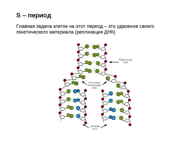 S – период Главная задача клетки на этот период – это удвоение своего генетич...