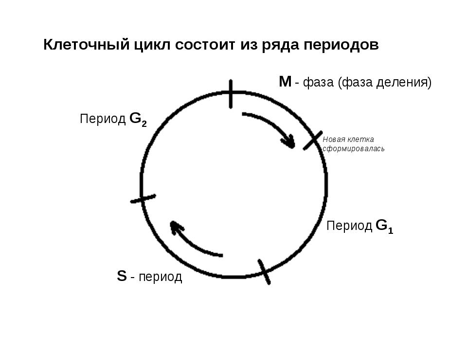 Клеточный цикл состоит из ряда периодов М - фаза (фаза деления) Период G1 Пер...