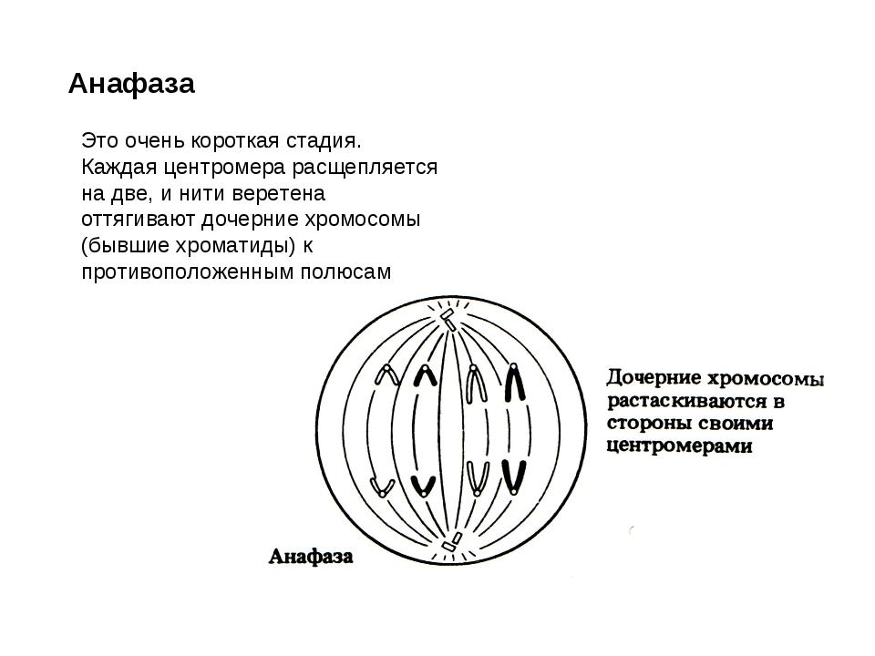 Анафаза Это очень короткая стадия. Каждая центромера расщепляется на две, и н...