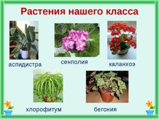 Растения нашего класса аспидистра сенполия каланхоэ хлорофитум бегония