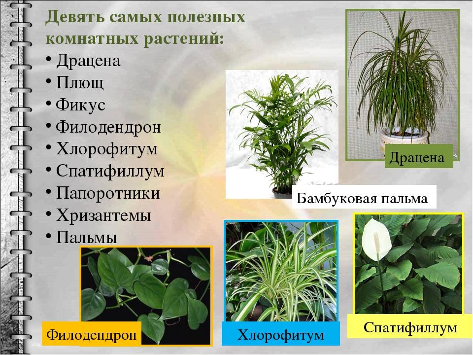 Девять самых полезных комнатных растений: Драцена Плющ Фикус Филодендрон Хлор...
