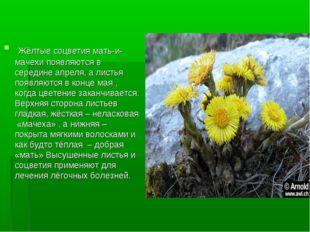 Жёлтые соцветия мать-и-мачехи появляются в середине апреля, а листья появляю