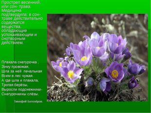 Прострел весенний, или сон- трава. Медицина подтвердила: в сон- траве действи
