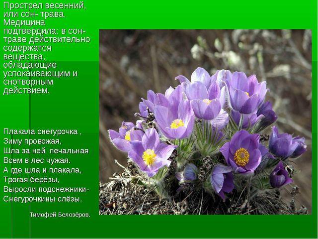 Прострел весенний, или сон- трава. Медицина подтвердила: в сон- траве действи...