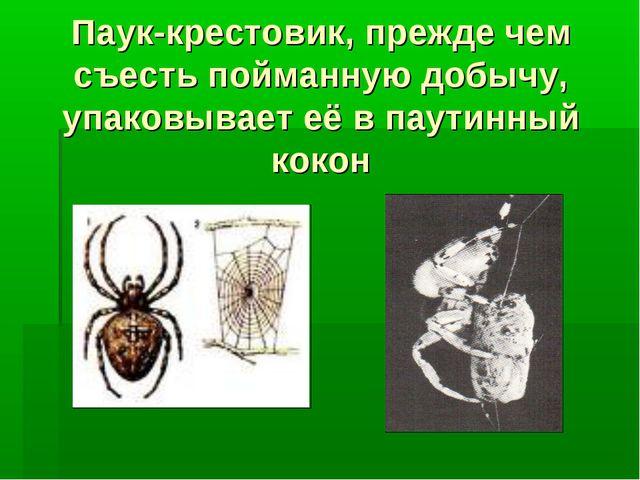 Паук-крестовик, прежде чем съесть пойманную добычу, упаковывает её в паутинны...