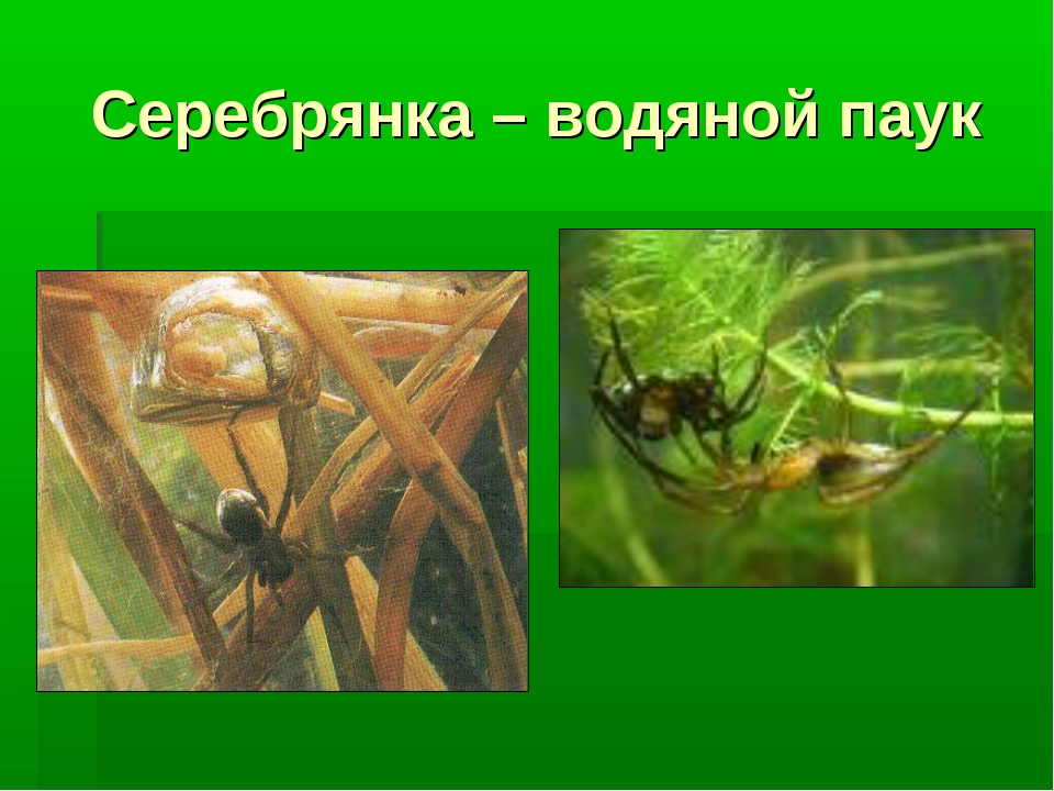 Серебрянка – водяной паук