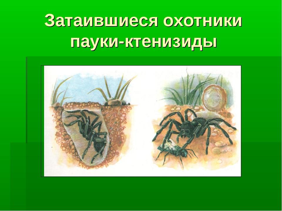 Затаившиеся охотники пауки-ктенизиды