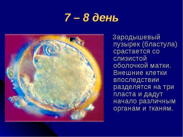 7 – 8 день Зародышевый пузырек (бластула) срастается со слизистой оболочкой м...
