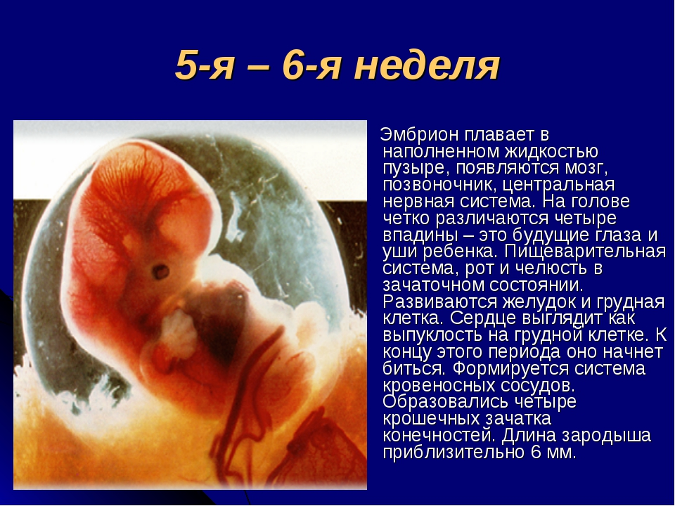 5-я – 6-я неделя Эмбрион плавает в наполненном жидкостью пузыре, появляются м...