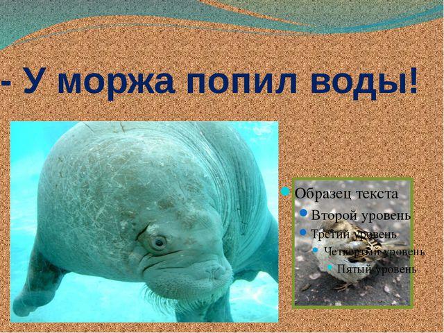 - У моржа попил воды!
