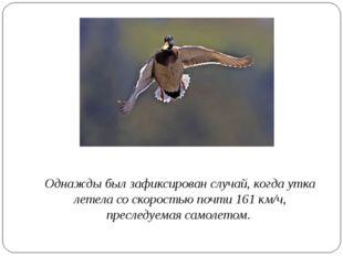 Однажды был зафиксирован случай, когда утка летела со скоростью почти 161 км
