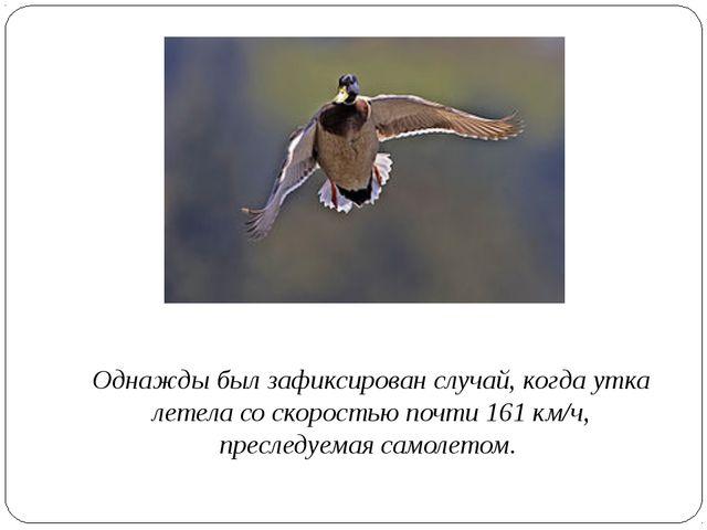 Однажды был зафиксирован случай, когда утка летела со скоростью почти 161 км...