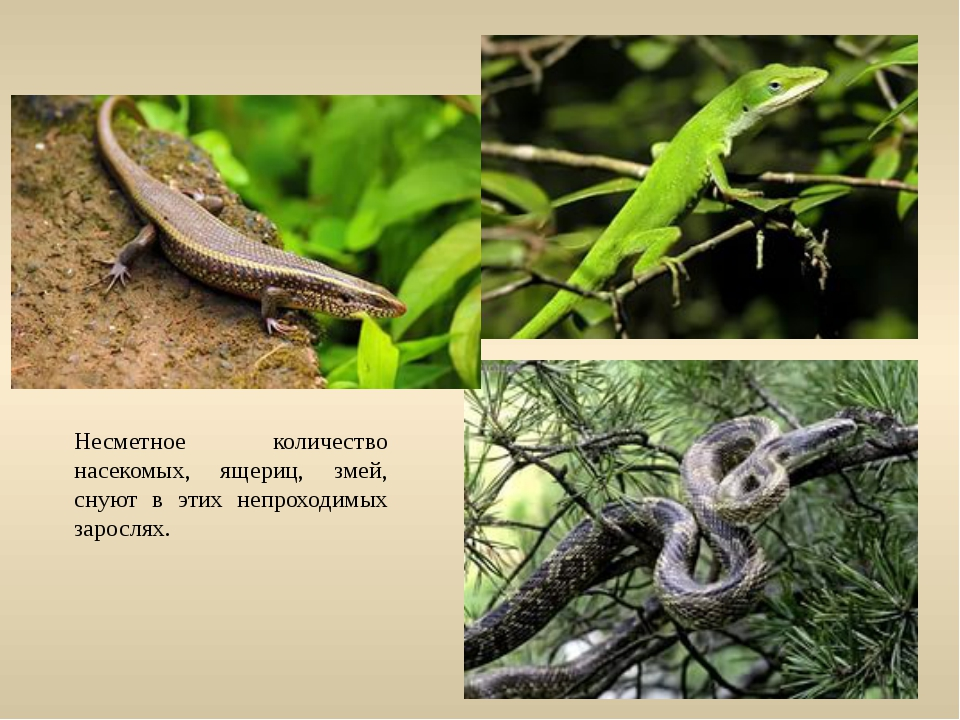 Несметное количество насекомых, ящериц, змей, снуют в этих непроходимых зарос...