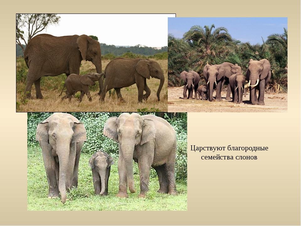 Царствуют благородные семейства слонов