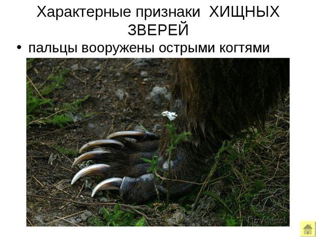 Характерные признаки ХИЩНЫХ ЗВЕРЕЙ пальцы вооружены острыми когтями