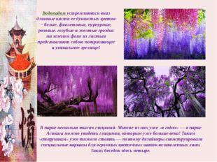 Водопадом устремляются вниз длинные кисти ее душистых цветов – белые, фиолето