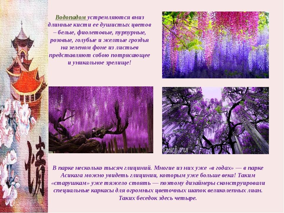 Водопадом устремляются вниз длинные кисти ее душистых цветов – белые, фиолето...