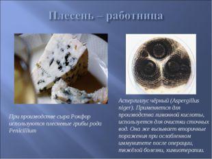 При производстве сыра Рокфор используются плесневые грибы рода Penicillium Ас