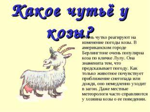 Какое чутьё у козы? Очень чутко реагируют на изменение погоды козы. В америка