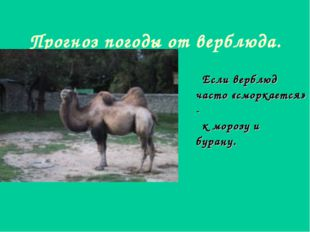Прогноз погоды от верблюда. Если верблюд часто «сморкается» - к морозу и бура