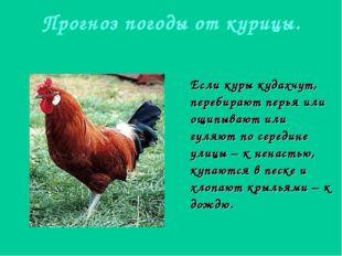 Прогноз погоды от курицы. Если куры кудахчут, перебирают перья или ощипывают