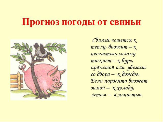 Прогноз погоды от свиньи Свинья чешется к теплу, визжит – к несчастью, солому...