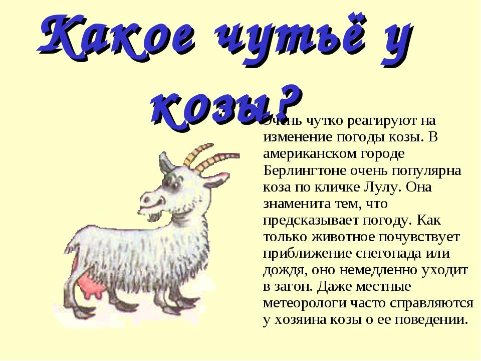 Какое чутьё у козы? Очень чутко реагируют на изменение погоды козы. В америка...