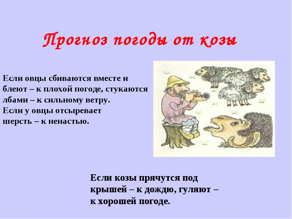 Прогноз погоды от козы Если овцы сбиваются вместе и блеют – к плохой погоде,...