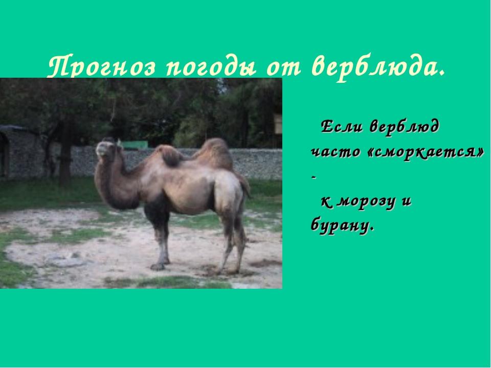 Прогноз погоды от верблюда. Если верблюд часто «сморкается» - к морозу и бура...