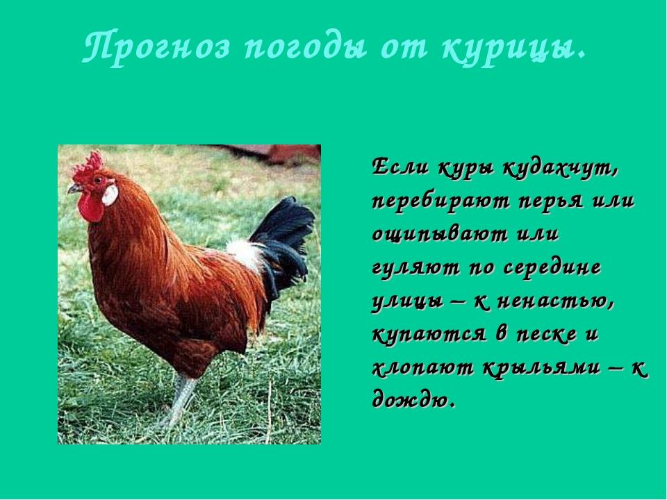 Прогноз погоды от курицы. Если куры кудахчут, перебирают перья или ощипывают...