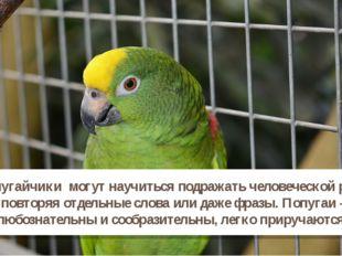 Попугайчики могут научиться подражать человеческой речи, повторяя отдельные с